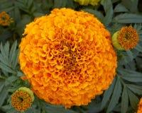 Pot marigold flower. And buds closeup Stock Photos