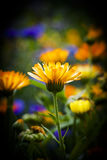 Pot marigold. In a flower bed Royalty Free Stock Images