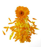 Pot marigold flower isolated. 