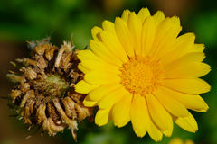 Pot Marigold Flower And Seeds. Yellow pot marigold (Calendula officinalis) flower and faded flower with seeds Stock Image