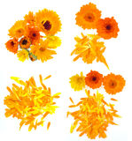 Pot marigold flower set Royalty Free Stock Photos