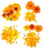 Pot marigold flower set Royalty Free Stock Photos