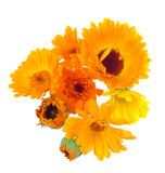 Pot marigold flowers Royalty Free Stock Photos