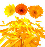 Pot marigold flowers with leaves Royalty Free Stock Photography