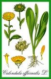 Pot marigold herbal illustration Stock Images