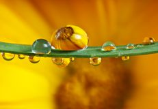 Pot marigold inside dew drops Stock Photo