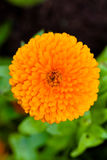 Pot Marigold (lat. Calendula officinalis). Orange Pot Marigold (lat. Calendula officinalis Stock Photo