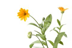 Pot Marigold with orange flower. On white background with space for text Stock Photo