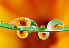 Pot marigold reflecting inside water drops. Pot marigold flower reflecting inside water drops macro photography Stock Photos