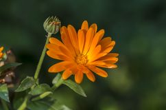 Pot Marigold. Or ruddles (Calendula officinalis) is medicinal plant royalty free stock photos