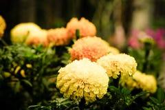Pot marigold (Calendula officinalis) Royalty Free Stock Images