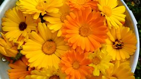 Pot Marigold stock image