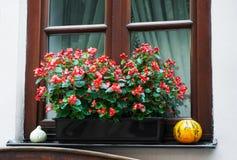 Pot met begoniabloemen Royalty-vrije Stock Afbeeldingen