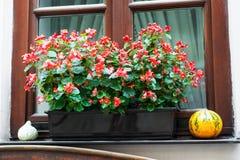 Pot met begoniabloemen Stock Afbeelding