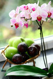 A pot of moth orchid Royalty Free Stock Images