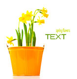 Pot of narcissus flower Stock Images