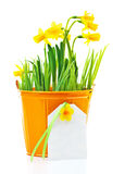 Pot of narcissus flower Stock Image