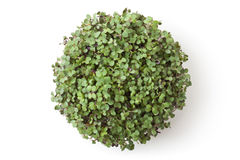 Pot with newborn sprouts of radish. Top view. Stock Images