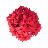 Pot Of Bright Red Poinsettia Stock Photos