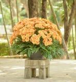A pot of orange chrysanthemums Stock Photo