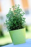 Pot of oregano Stock Photo