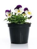 Pot with pansy Royalty Free Stock Photo