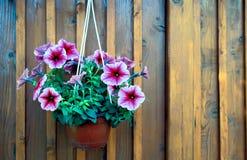 A pot of petunias Royalty Free Stock Images
