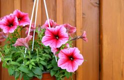 A pot of petunias Stock Photo