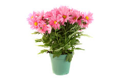 Pot of pink daisies Stock Images