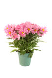 Pot of pink daisies Stock Image