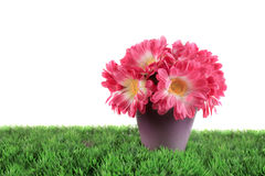 Pot of pink daisies Royalty Free Stock Images