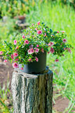 Pot of pink flowers Royalty Free Stock Images