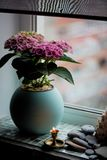 A pot of pink hydrangea in the home.In winter. Flowering plant in a pot. royalty free stock photography