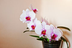 Pot of pink orchid background orange wall Royalty Free Stock Photography