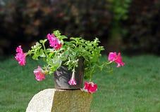 Pot of Pink Petunia Stock Images