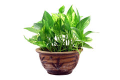 Pot Plant Stock Image