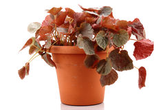 Pot plant Royalty Free Stock Images