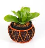 Pot plant Royalty Free Stock Photo