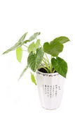 Pot plant. Green home plant in a white pot with white royalty free stock photography