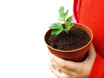 Pot with plant in child hands Stock Images