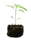 Pot plant with its compost exposed Royalty Free Stock Image