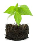 Pot plant with its compost exposed against a white Royalty Free Stock Image