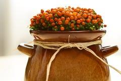 Pot plant nertera Royalty Free Stock Images