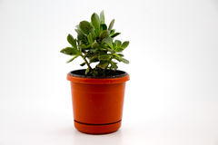 Pot with plant and white background royalty free stock image