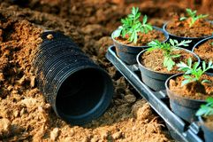 Pot planting. Planting young plant in the pot Royalty Free Stock Photo