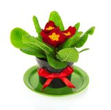 Pot with primrose on saucer Royalty Free Stock Photography