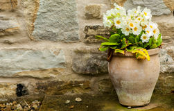 Pot of Primroses stock photo