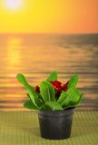 Pot with primula on bamboo cloth. Pot with a primula on a bamboo cloth against the sea royalty free stock photos