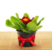 Pot with primula on the bamboo cloth Stock Photo