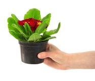 Pot with a primula in the female hand Royalty Free Stock Images